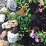 vinca Minor bodembedekker tuin aan zee